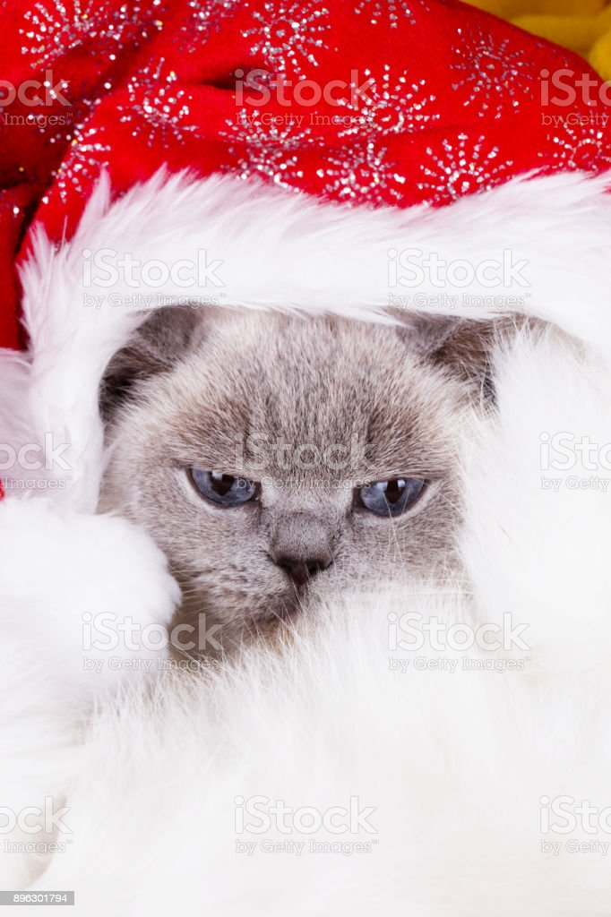 Christmas cat with funny santa hat on head. christmas cat in red Santa Claus cap. British cat (color blue-point). British white cat with blue eyes stock photo