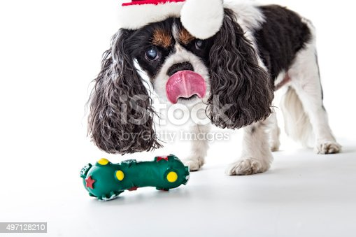 A senior Cavalier King Charles Spaniel licks her chops over her Christmas chew toy.