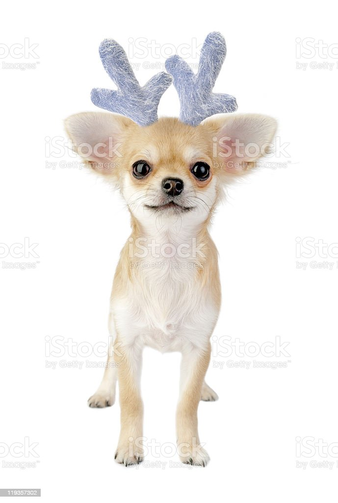 Christmas chihuahua puppy - reindeer isolated on white stock photo