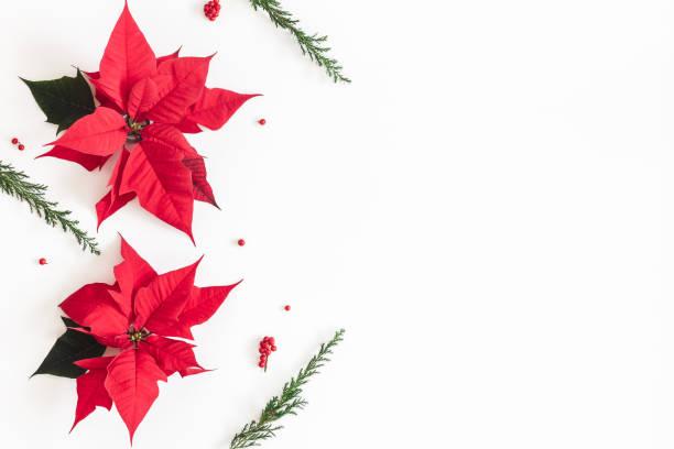 weihnachten-komposition. gestell aus weihnachten weihnachtsstern und tanne äste auf weißem hintergrund. ansicht von oben flach legen, textfreiraum - weihnachtssterne aus papier stock-fotos und bilder