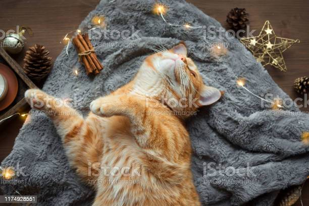 Christmas composition with ginger cat picture id1174928551?b=1&k=6&m=1174928551&s=612x612&h=iqhuu0aggn0mdjansq3sl08m8 yatmjlk7crr5yx2jo=