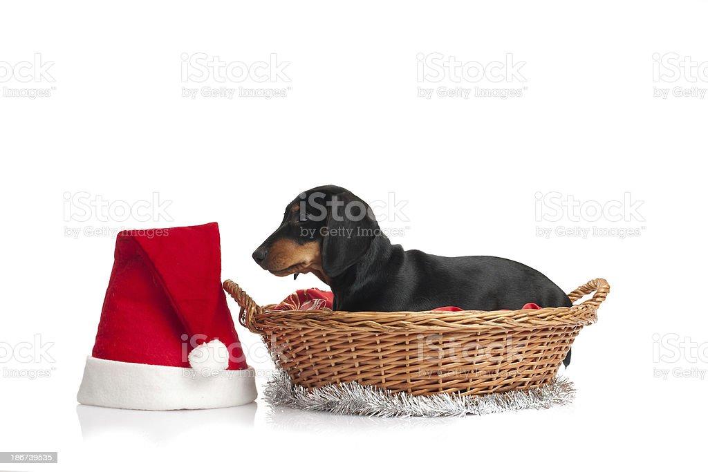 Christmas dachshund portrait royalty-free stock photo