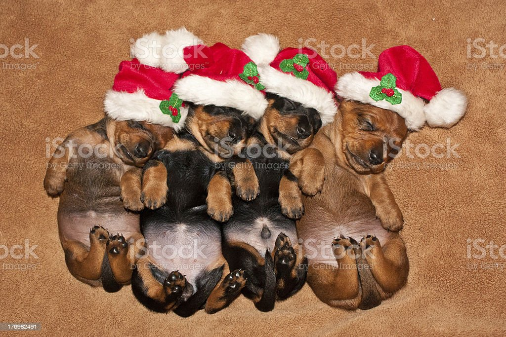 Natale Dachshunds foto stock royalty-free