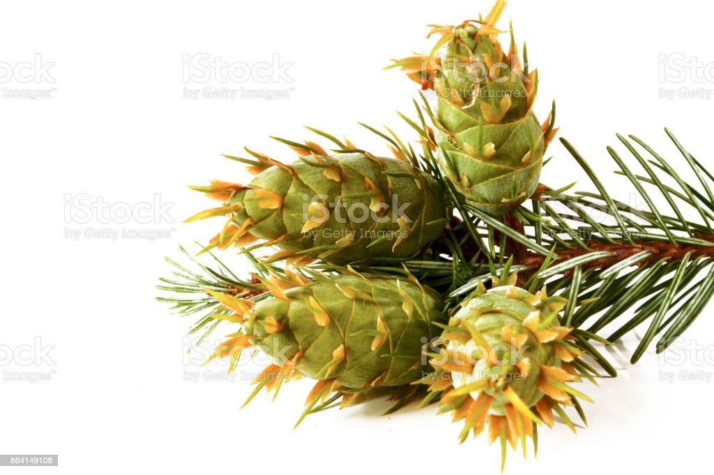 Christmas decoration - bunch of Douglas fir tree with cones isolated on white background royalty-free stock photo