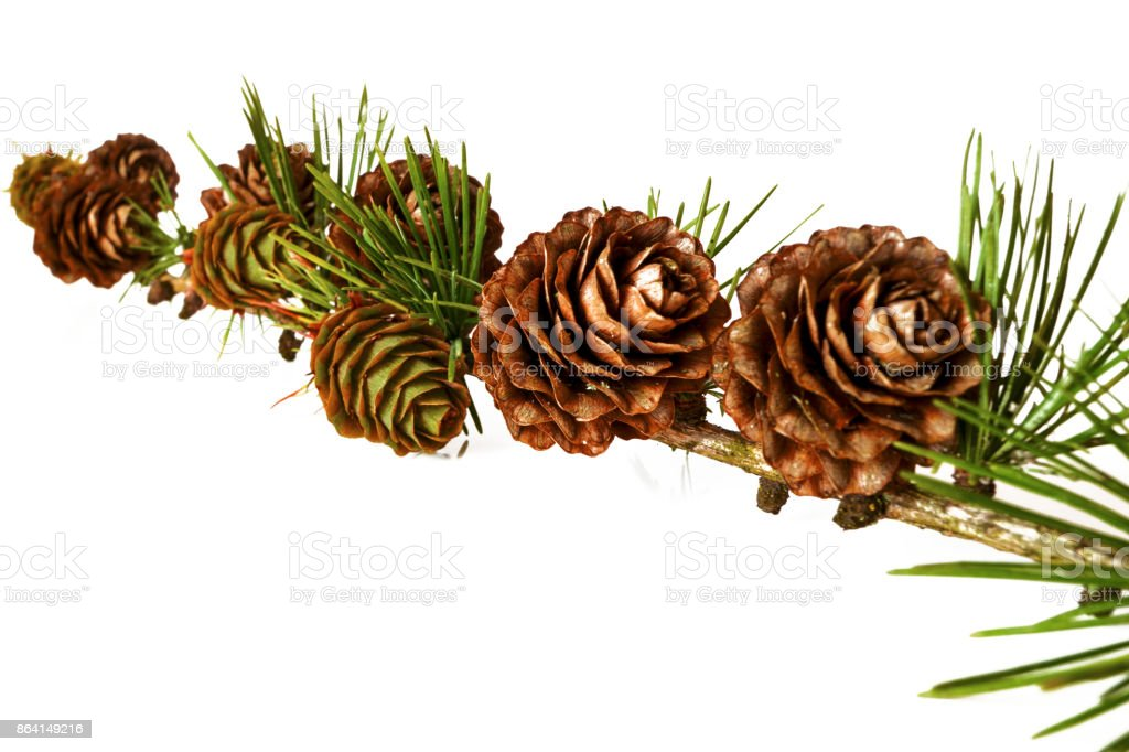 Christmas decoration - bunch of european larch tree (Larix) with larch cones isolated on white background royalty-free stock photo