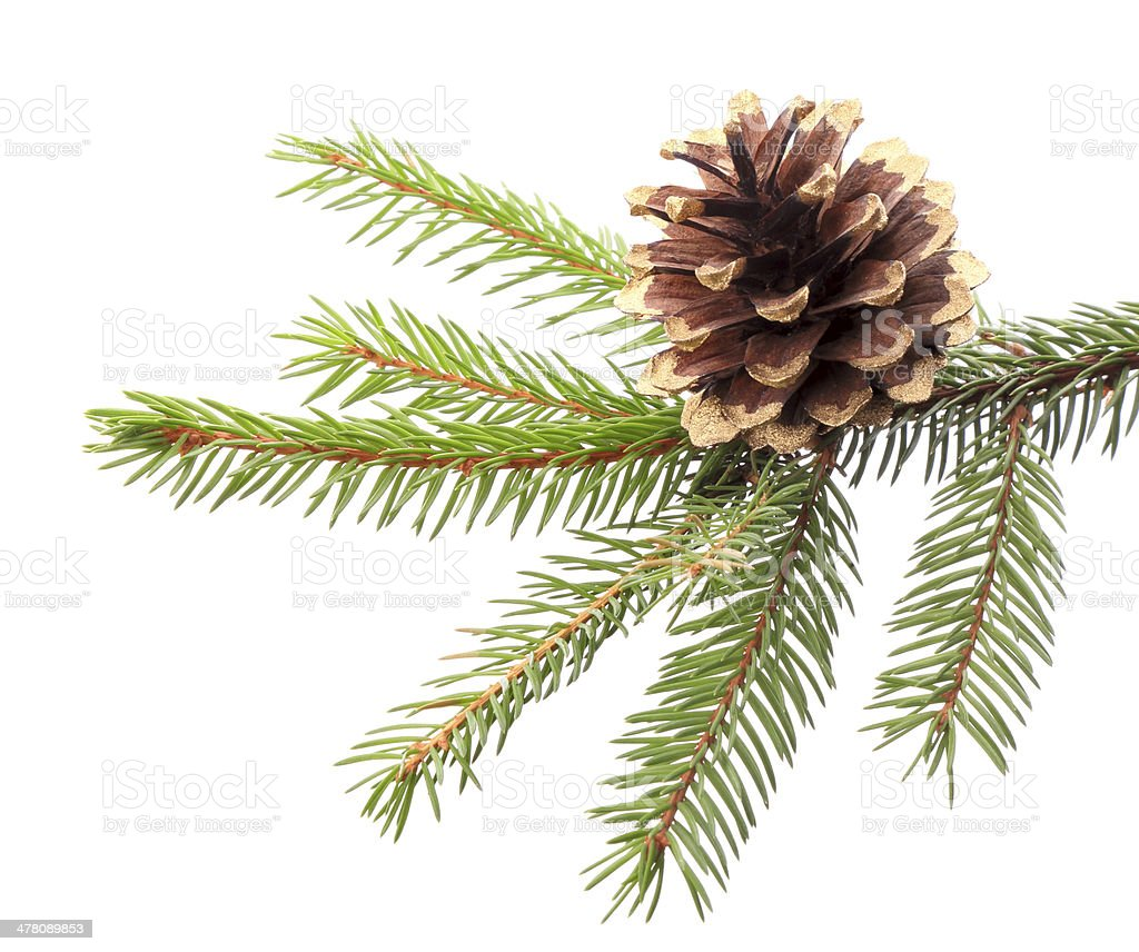 Christmas decoration - fir branch with gilded cone royalty-free stock photo