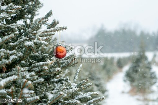 A pine tree on a Christmas tree farm. It has a red decoration hanging on it.
