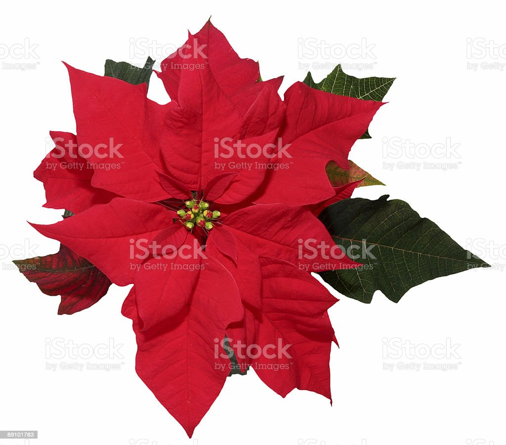 Christmas decoration poinsettia royalty-free stock photo