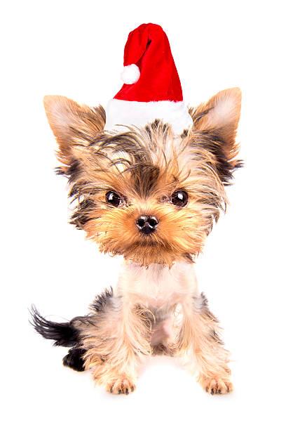 christmas dog as santa stock photo