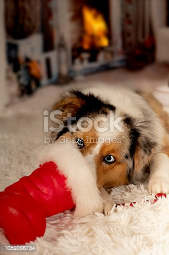 istock Christmas, dog Australian Shepherd lies idyllically in front of fireplace fire 1059096734