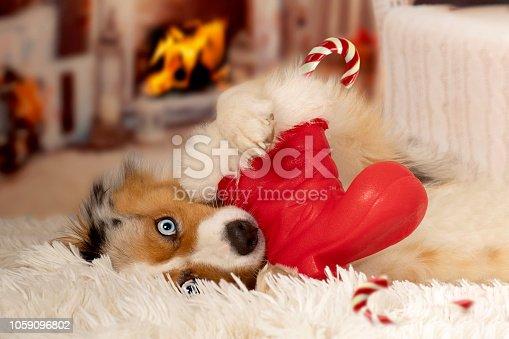 istock Christmas, dog Australian Shepherd lies idyllically in front of fireplace fire 1059096802