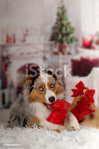 istock Christmas, dog Australian Shepherd lies idyllically in front of fireplace fire 1059096930