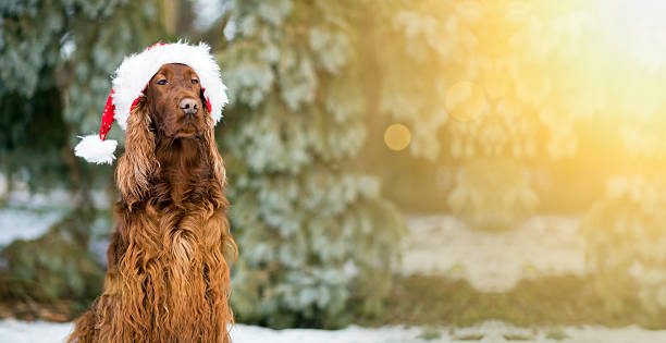 Christmas dog banner Website banner of a funny Christmas dog with Santa Claus hat irish setter stock pictures, royalty-free photos & images