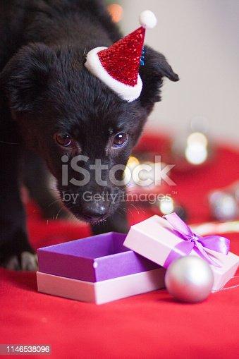 istock Christmas dog concept. Black dog. Puppy animals. New year 1146538096