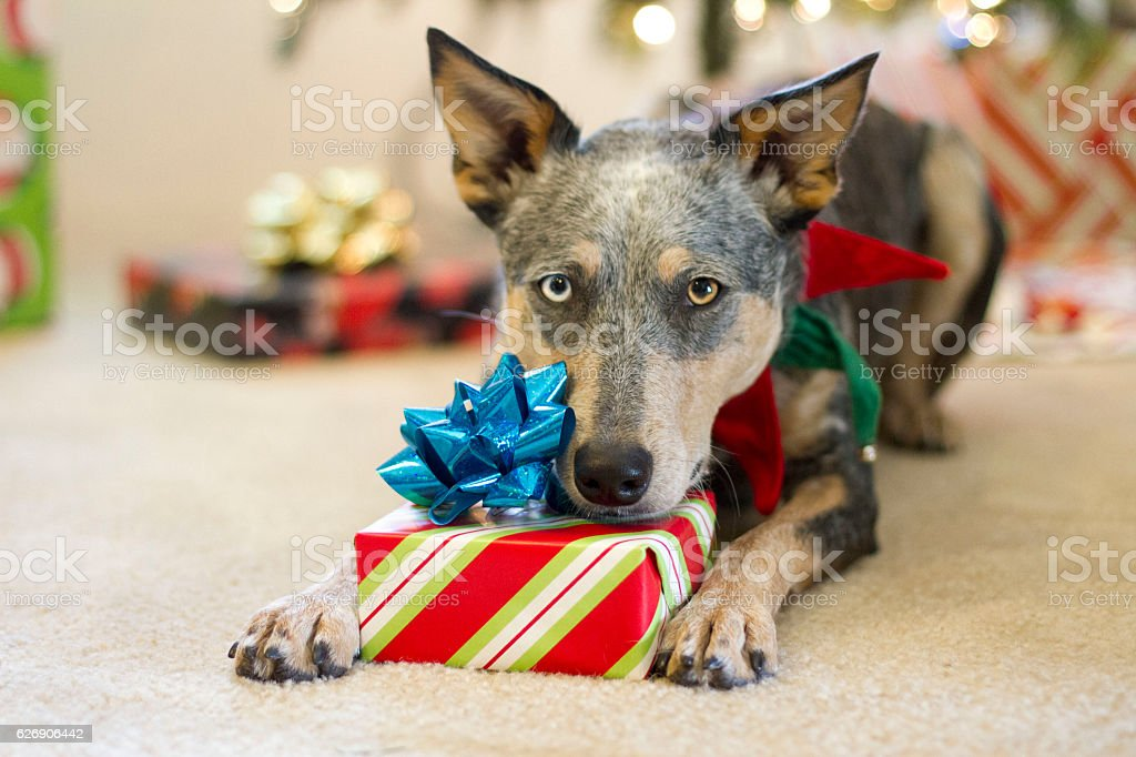 Christmas Dog Laying on Wrapped Present Under Tree stock photo