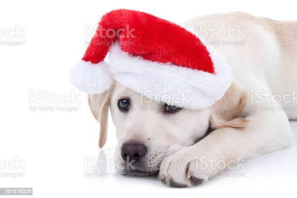 Christmas dog picture id181579328?b=1&k=6&m=181579328&s=612x612&h=waxokzsl3tcvihdvh5jknmgpb 8nygjmwsgm098frgs=