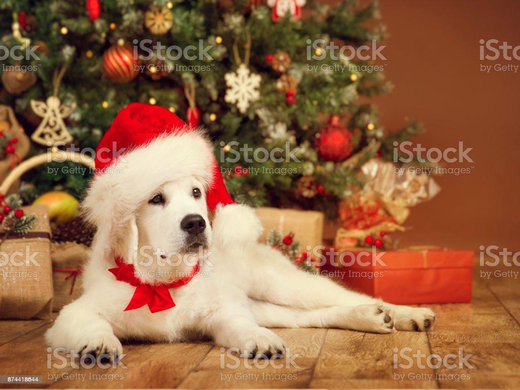 Christmas Dog, White Puppy Retriever in Santa Hat under Xmas Tee, New Year Present Gift stock photo