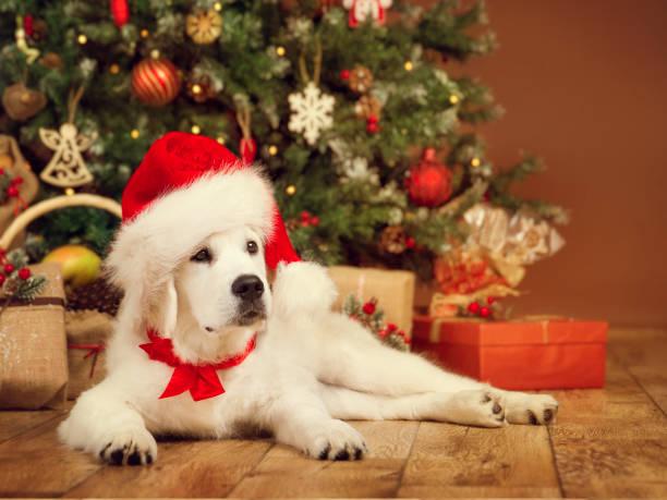 weihnachten hund, weißen welpen retriever in nikolausmütze unter xmas tee, präsent geschenk zum neuen jahr - silvester mit hund stock-fotos und bilder