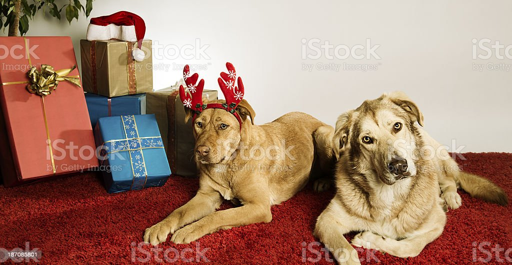 Christmas dogs royalty-free stock photo