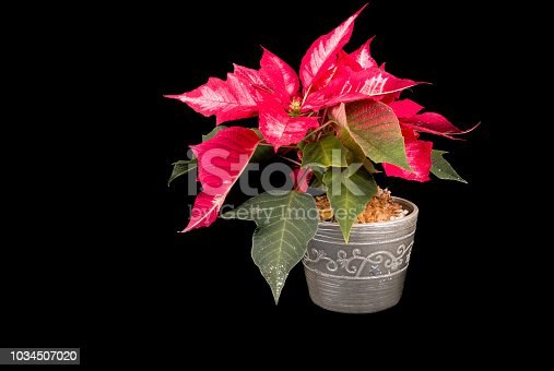 istock Christmas Eve Flower on black background 1034507020