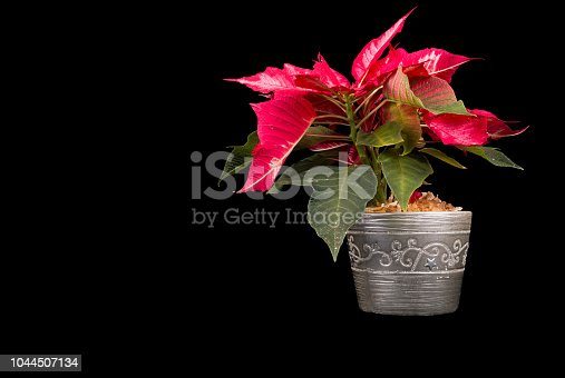 istock Christmas Eve Flower on black background 1044507134