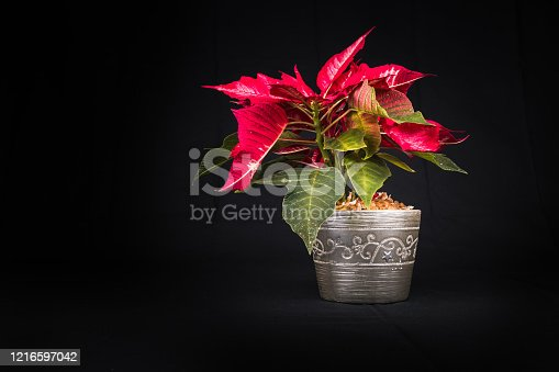 istock Christmas Eve Flower on black background 1216597042