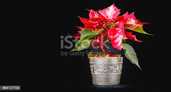 istock Christmas Eve Flower on black background 654127704