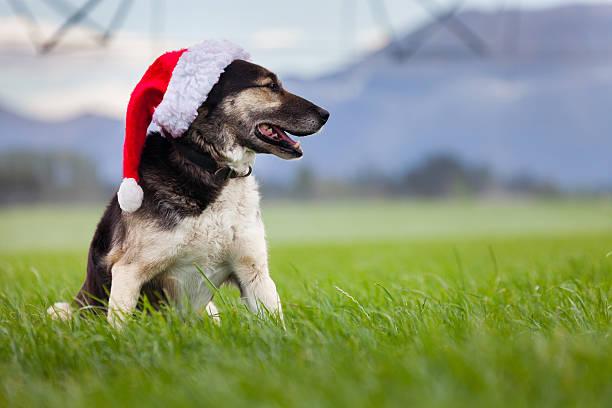 Weihnachten farm Hund suchen seitwärts in Feld – Foto