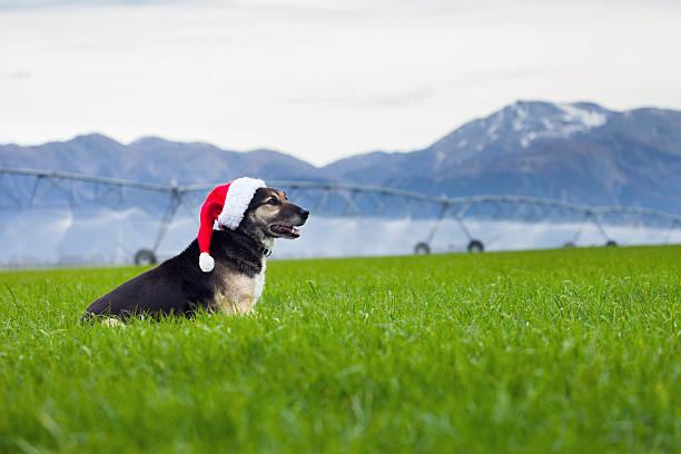 Weihnachten farm Hund in Weihnachtsmütze vor irrigator – Foto