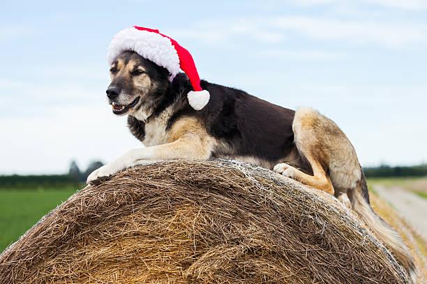 Weihnachten farm Hund mit Weihnachtsmann Mütze – Foto