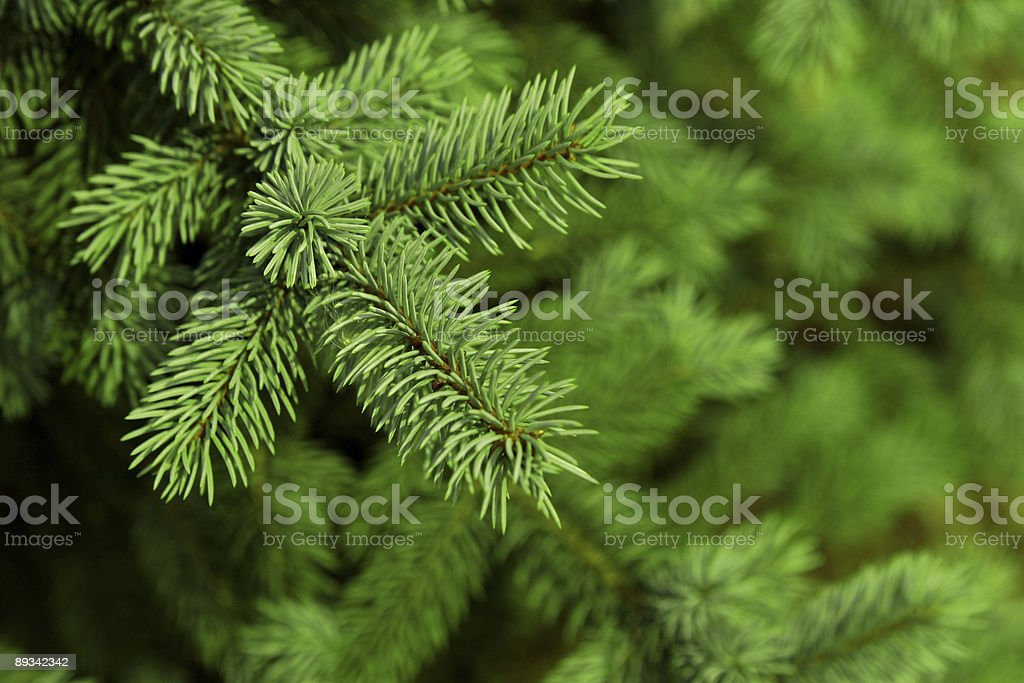 Christmas fir tree background stock photo