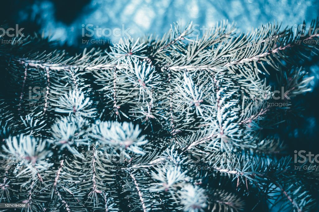 Christmas fir tree blue background with copy space. Fir tree branches...
