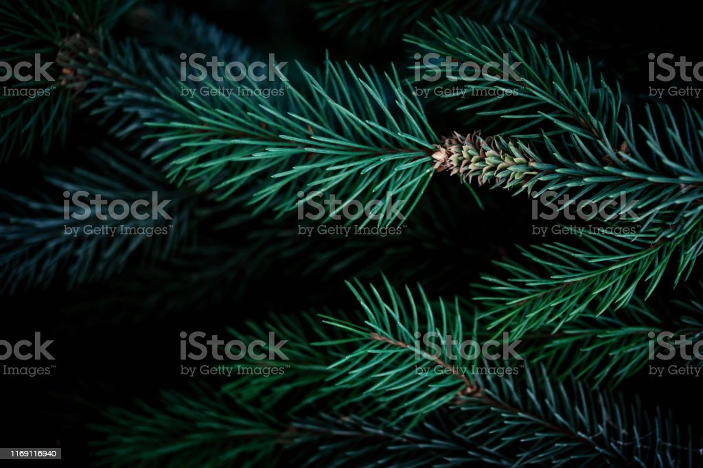 Christmas fir tree branches Background. Christmas pine tree...
