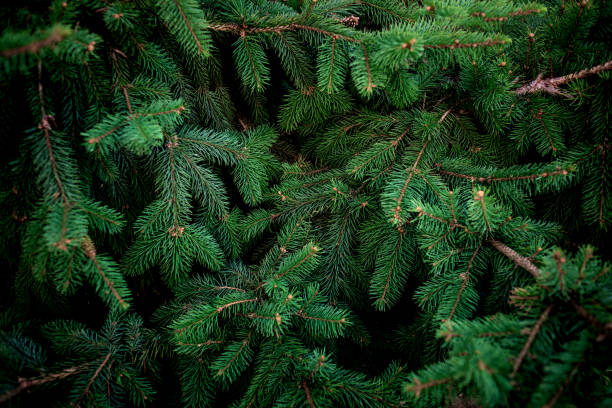 christmas  fir tree brunch textured background. fluffy pine tree brunch close up. green spruce - christmas green stock photos and pictures