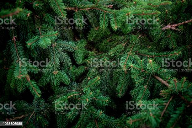 Photo of Christmas  Fir tree brunch textured Background. Fluffy pine tree brunch close up. Green spruce