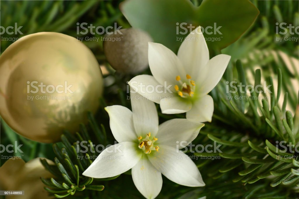 Christmas flower arrangement with blooming star of Bethelem flowers.