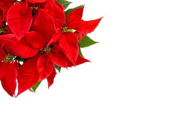 Christmas flower isolated white background red poinsettia picture id892455358?b=1&k=6&m=892455358&s=612x612&w=0&h=tnbqsb j874s1azd8ff13 3okba9ny1x7tl 7gbrhoo=