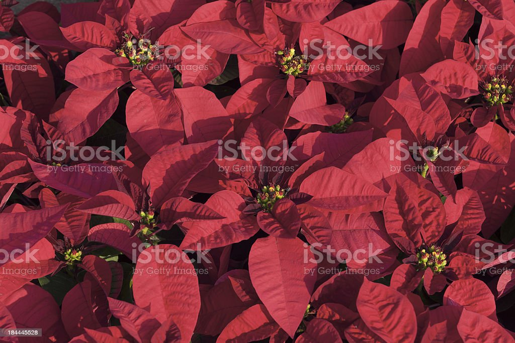 Christmas flower royalty-free stock photo