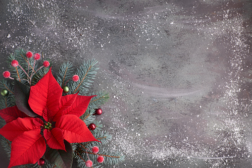Christmas flower poinsettia and decorated fir tree twigs on dark textured background, copy-space