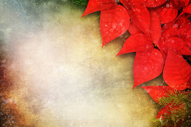 weihnachten hintergrund mit blumen weihnachtsstern - weihnachtssterne aus papier stock-fotos und bilder