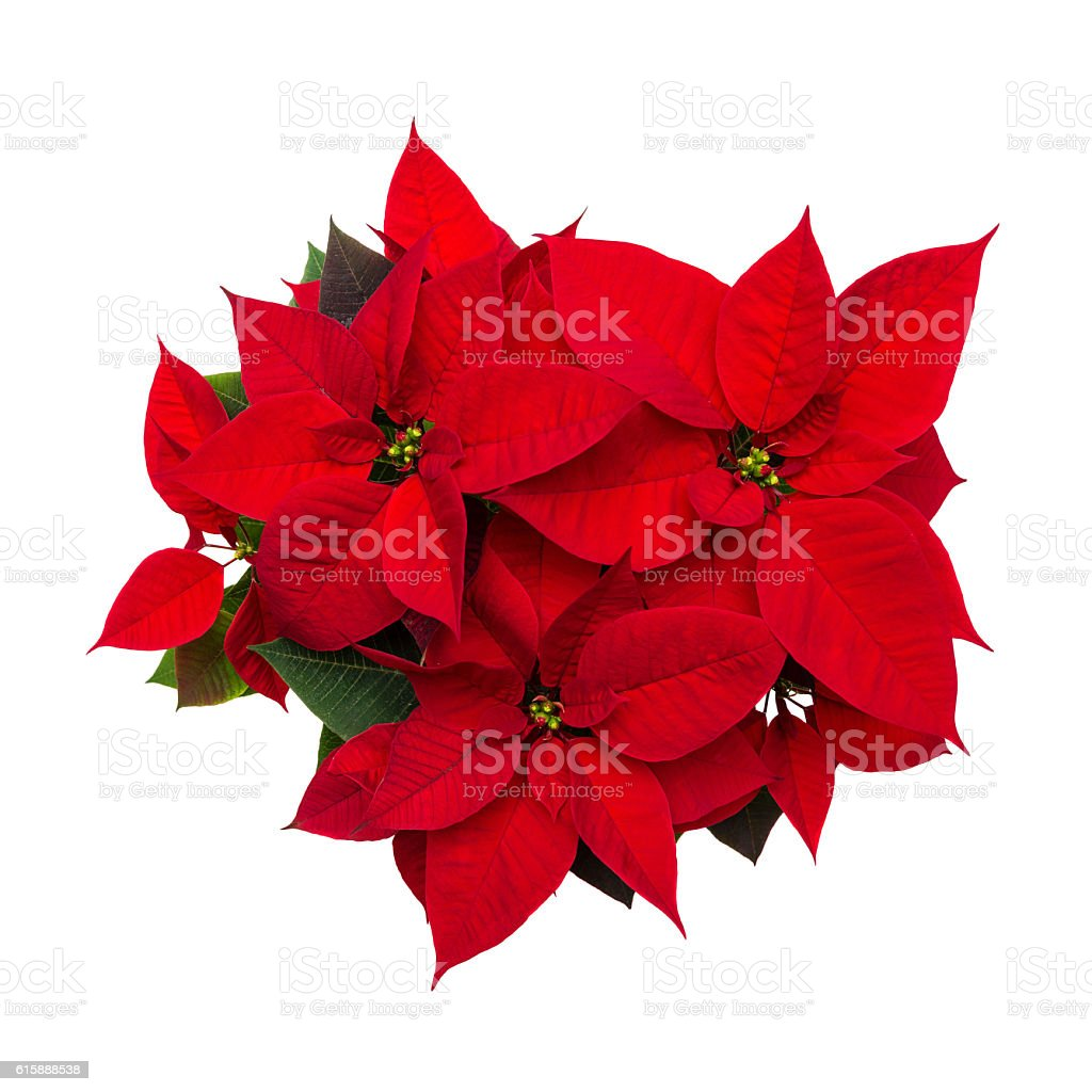 Christmas flower poinsettia isolated on white background stock photo