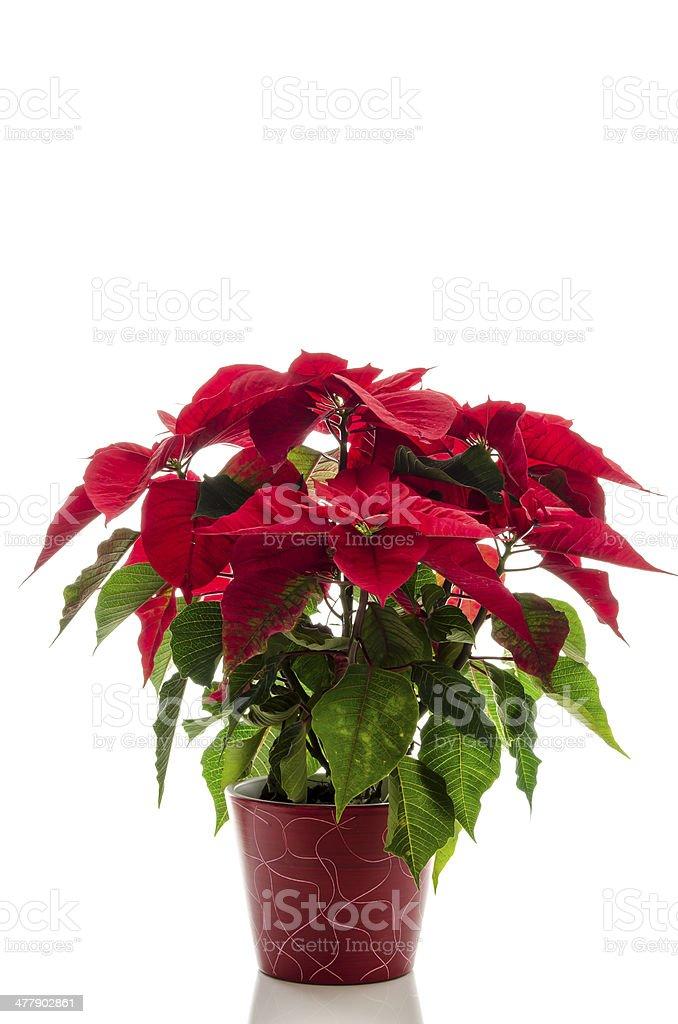 Christmas flower Poinsettia royalty-free stock photo