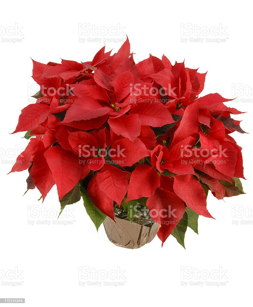 Christmas Flower with Path royalty-free stock photo