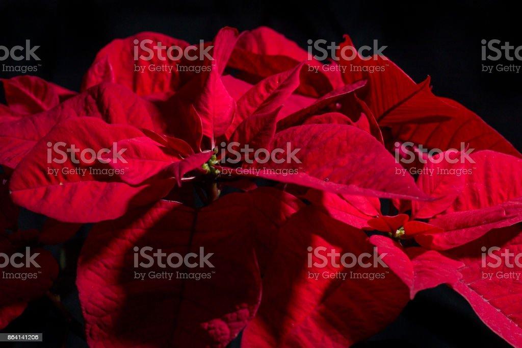 Christmas flowers on black royalty-free stock photo