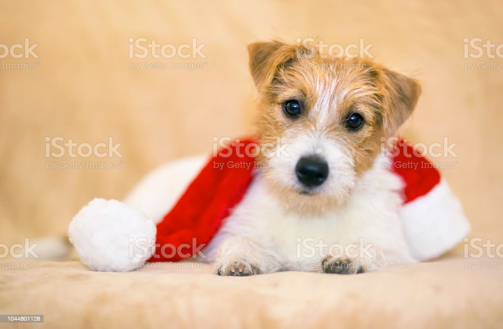 Christmas happy pet dog puppy with Santa Claus hat - greeting card,...