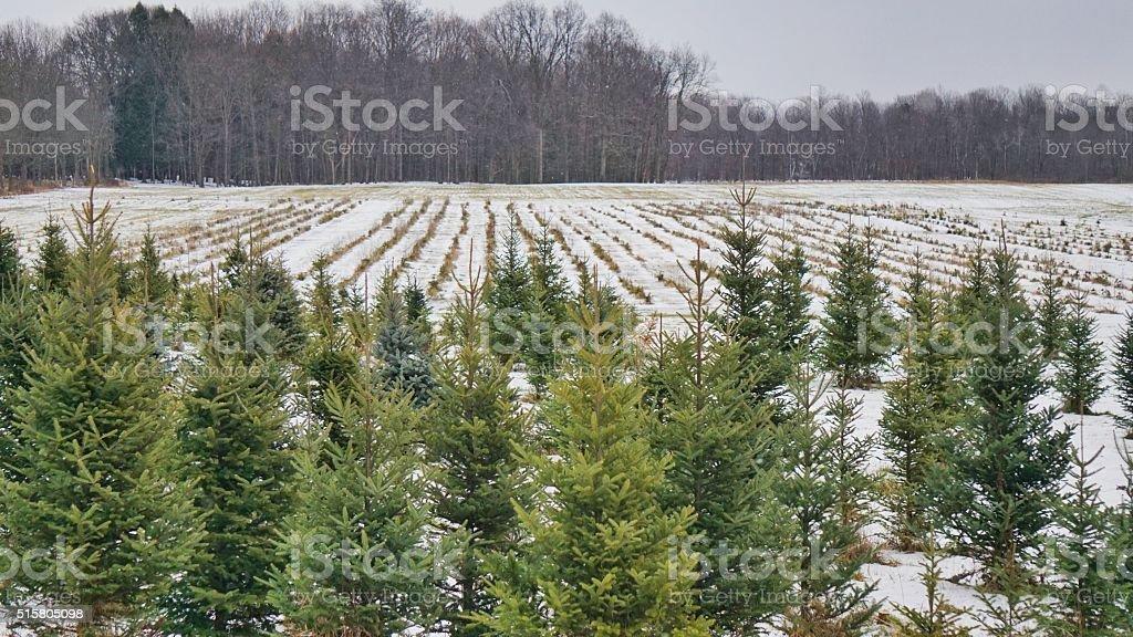 Christmas Holiday Pine Tree Farm, Winter, Snow, New York State stock photo