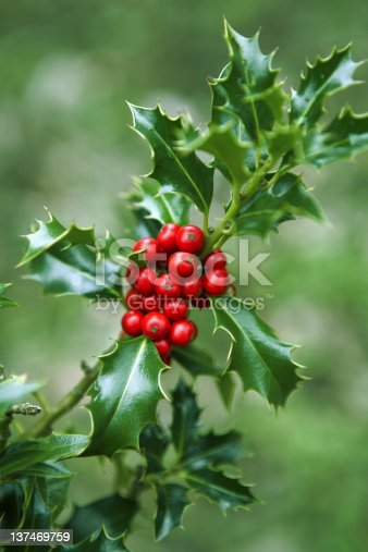 A rich Green and Red branch of Holly.Shallow Depth of Field