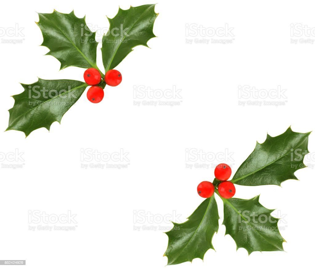 Christmas holly isolated - design element stock photo