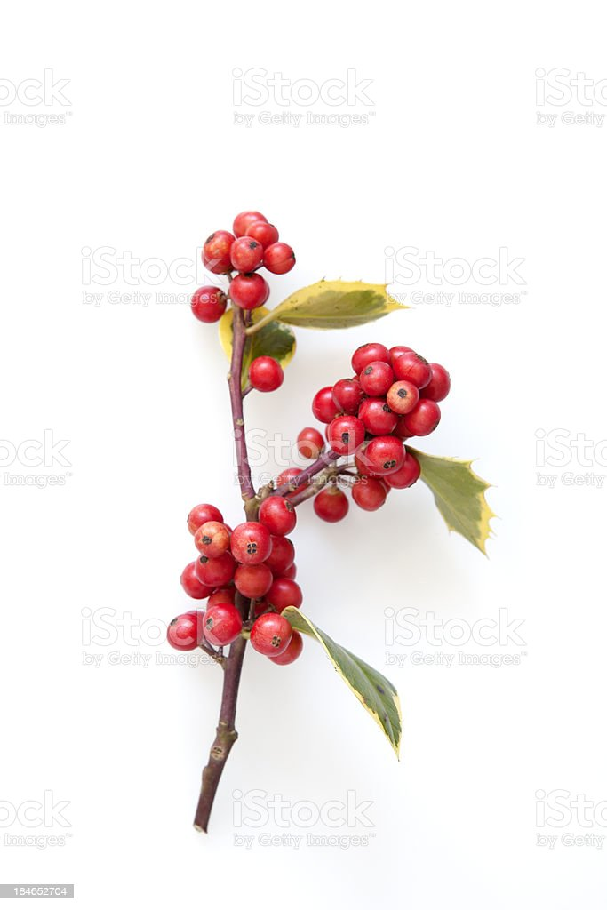 Christmas Holly on White stock photo
