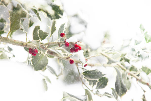 christmas holly - foliate pattern stock photos and pictures